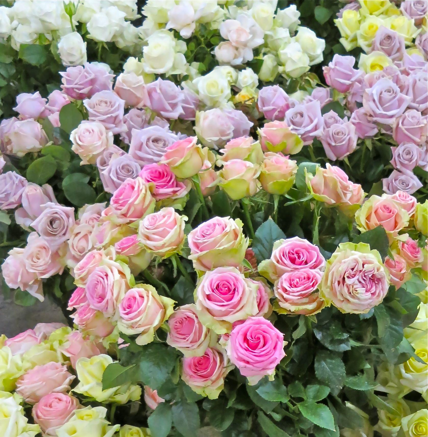 david austin roses | Maison des Fleurs